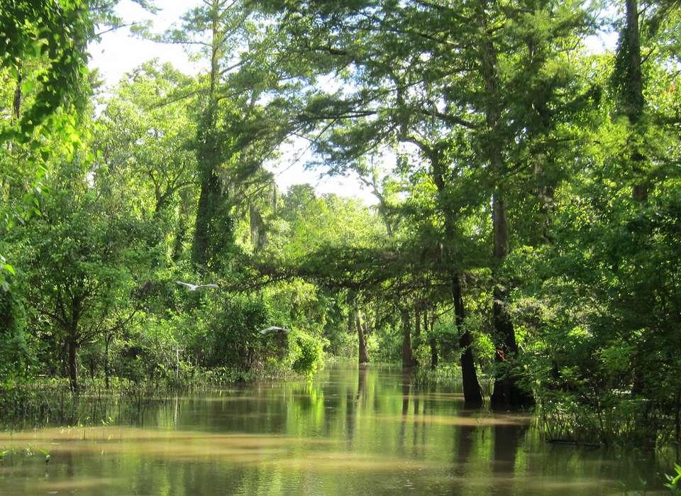 swampscene - Atchafalaya Swamp