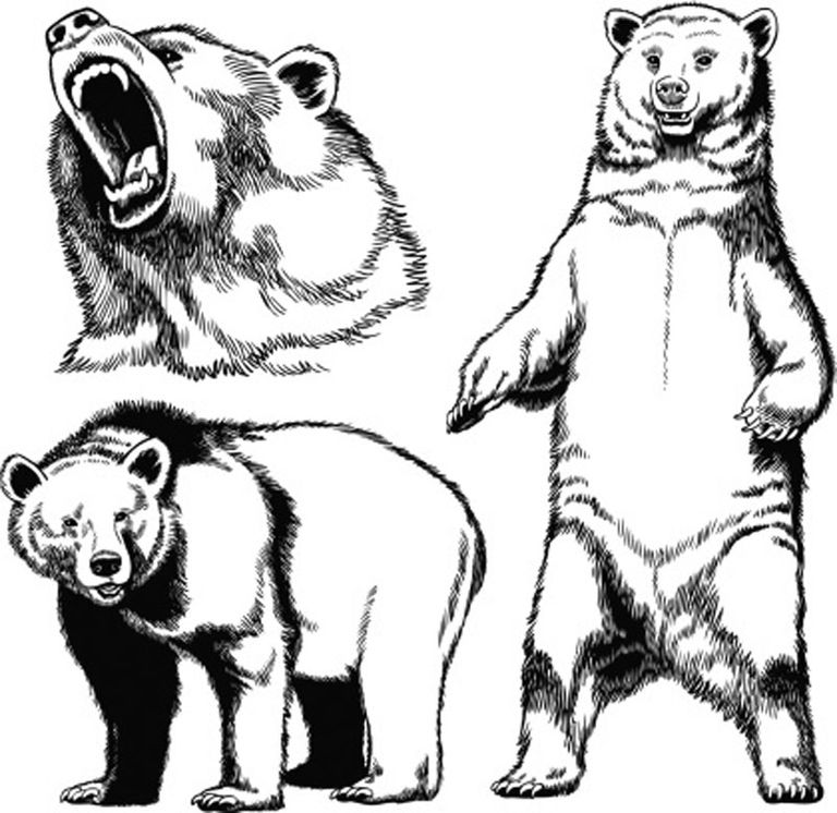 Pen and ink Drawing of Grizzly Bear