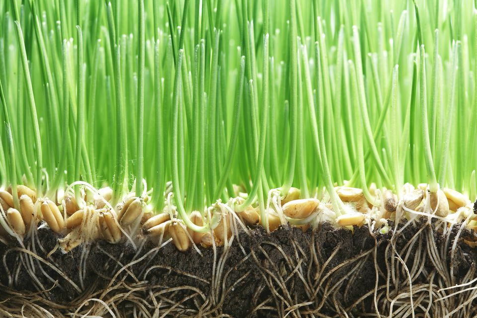 Bermuda Grass Seed For LawnsPasturesSports Fields