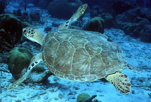 Green Turtle / Andy Bruckner, NOAA