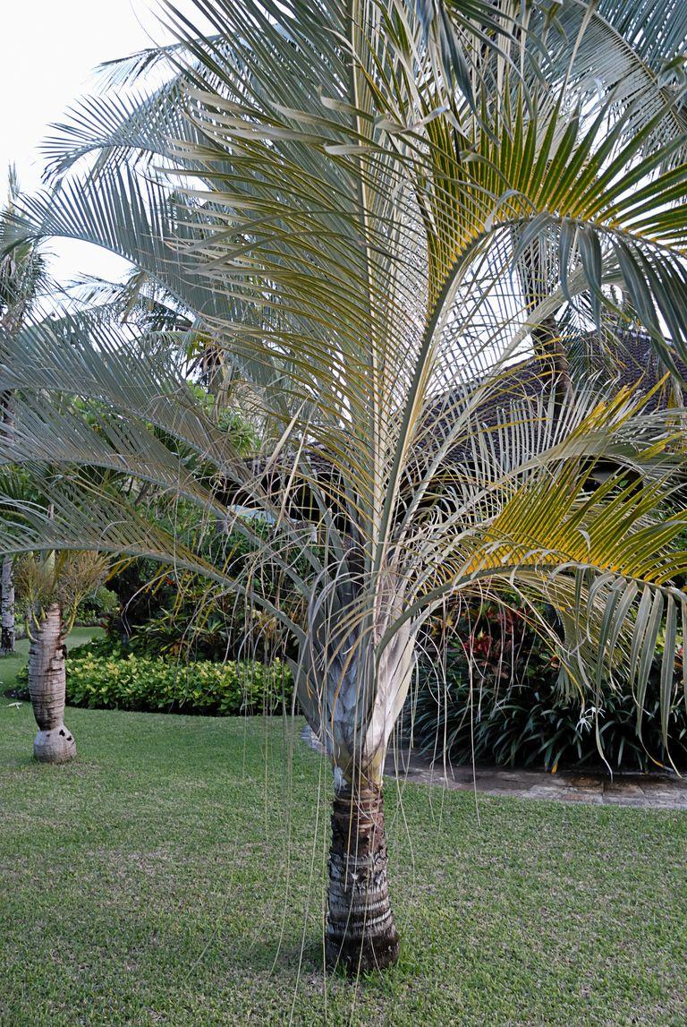 Conoce los diferentes tipos de palmera - Plantas de interior palmeras ...