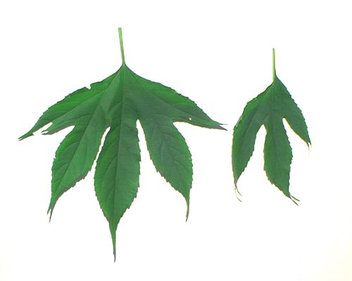 Photo of giant ragweed leaves.
