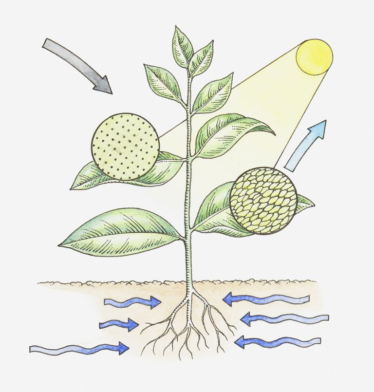Photosynthesis is the set of chemical reaction by which plants and other autotrophs convert energy from sunlight into chemical food.