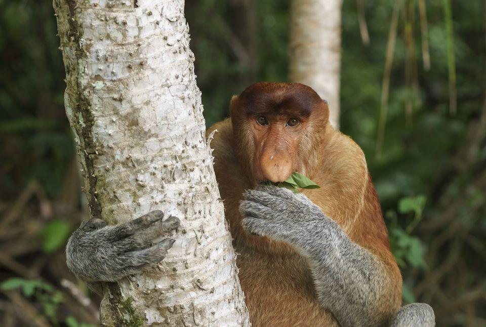 Proboscis monkey bako national park in Sarawak, Borneo