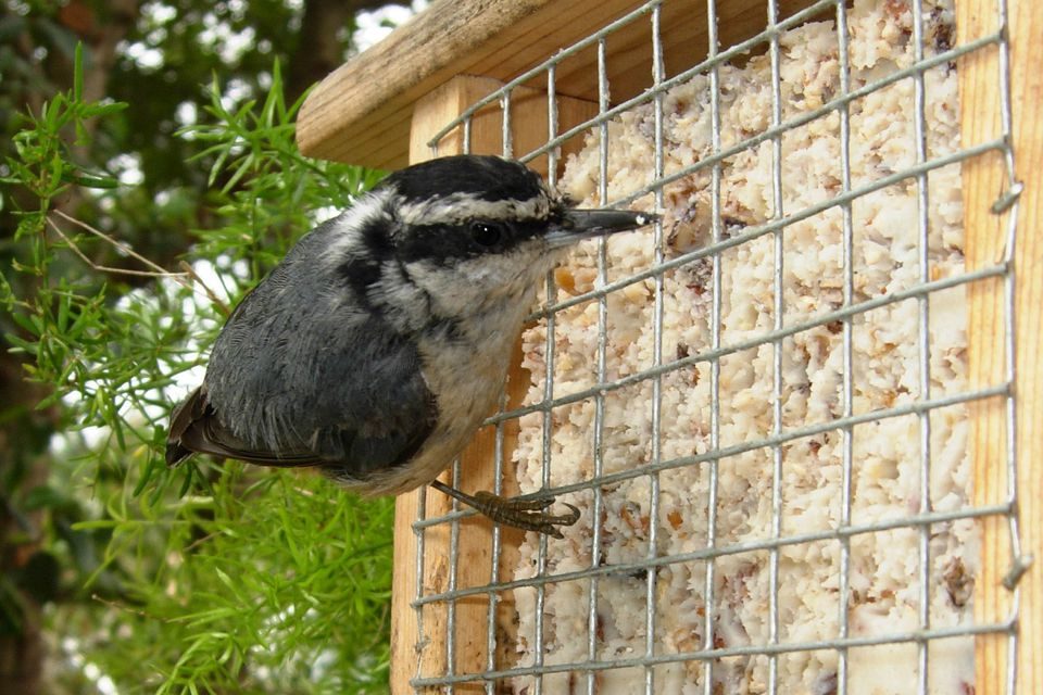 Red-Breasted Nuthatch on Suet Feeder
