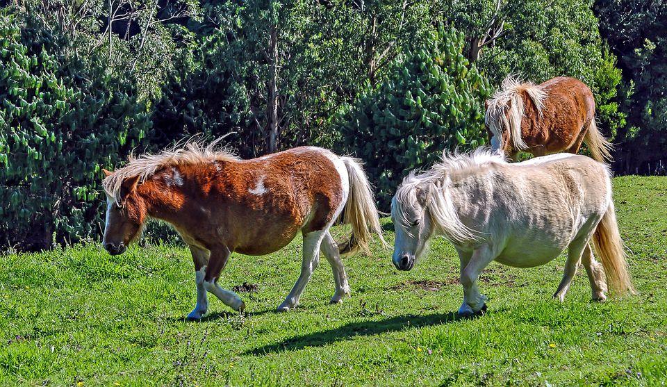 3 minature ponies walking in a field.