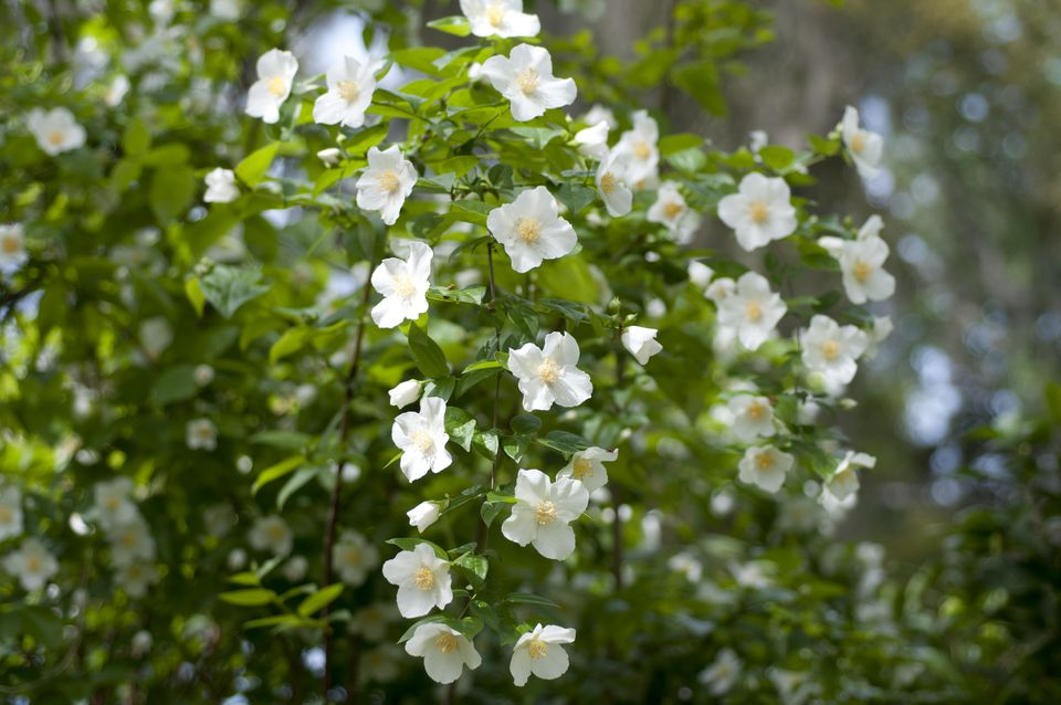 Mock Orange Shrubs Growing and Care Guide