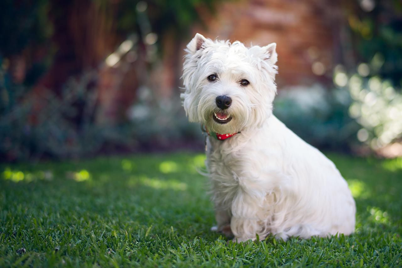 Western Home Decor West Highland White Terrier Dog Breed Profile