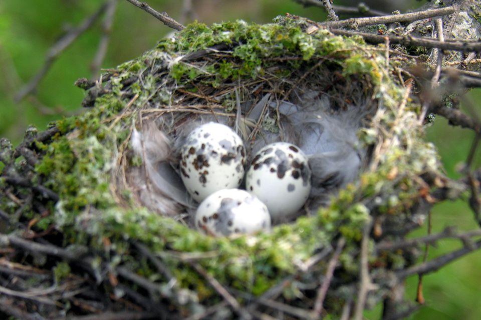 Vermilion Flycatcher Nest