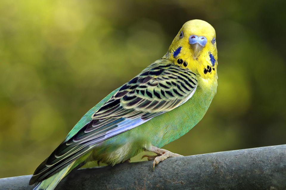 Budgerigar [Parakeet]