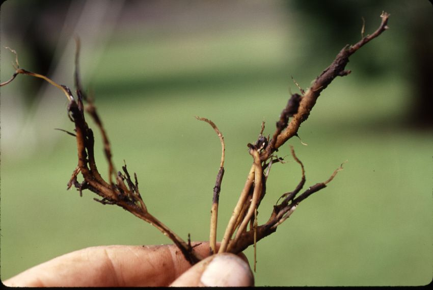 root rot in plant