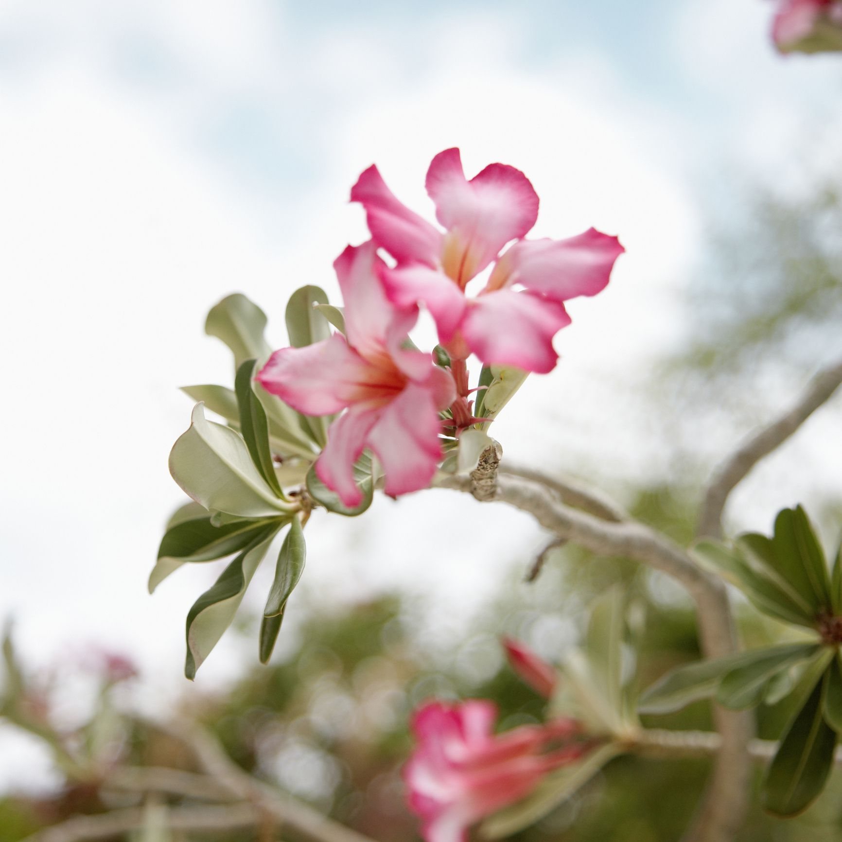 Tips For Growing Desert Rose Plants