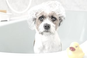 Dog at the groomers getting a bath with a shower cap and a rubber duck.