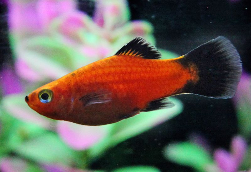 Platy fish colors patterns and fin types for Types of red fish
