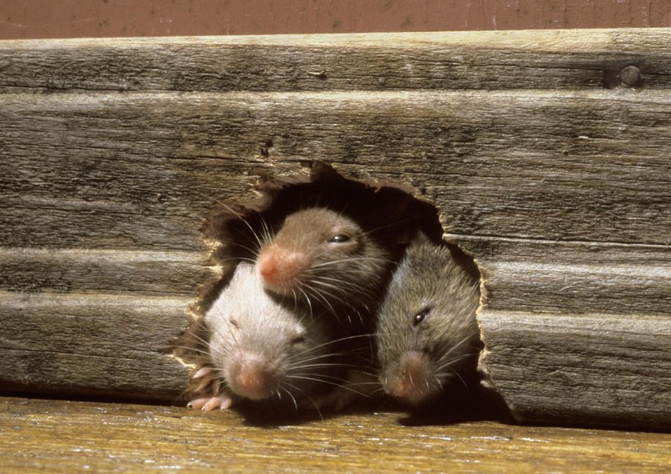 Three mice in mouse hole