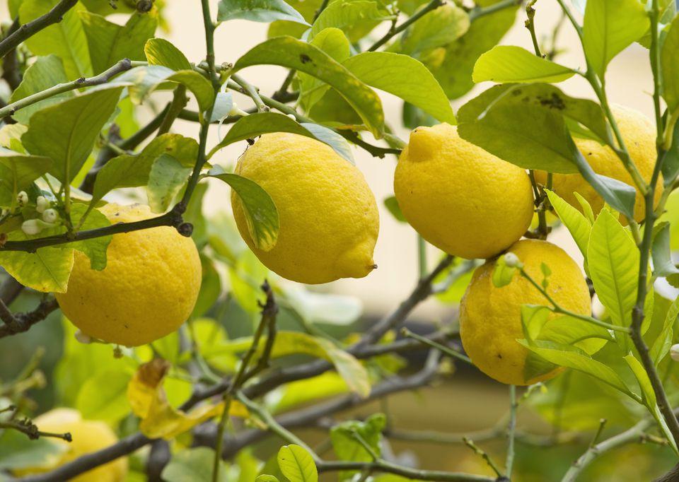 Lemon Tree With Lemons