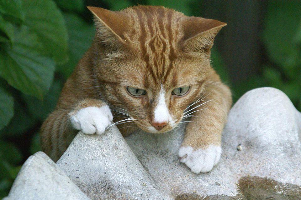 Cat at Bird Bath