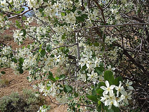 Meet 9 species of serviceberry trees and shrubs picture of utah serviceberry thecheapjerseys Image collections