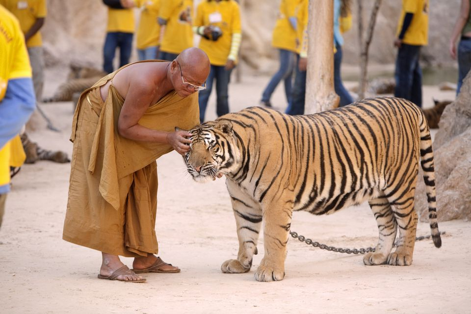 Abbot petting tigers at the Tiger Temple (Wat Pha Luang Ta Bua).
