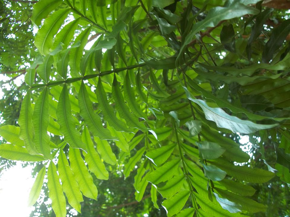 Japanese tree ferns are known for their beautiful canopy-like foliage.