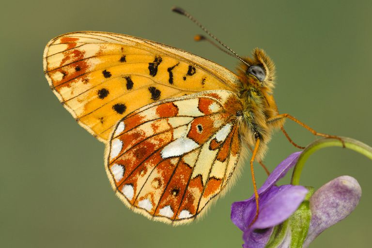 This pearl-bordered fritillary is amoung an estimated one to 30 million species of arthropods alive today.