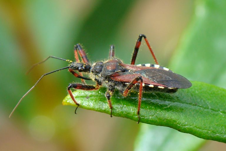 Assassin bug.