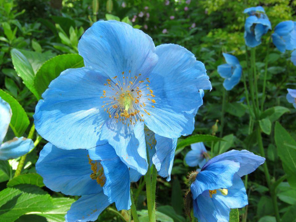 'Tibetan Blue' Poppy (Meconopsis)