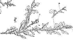 Plant Patent #1