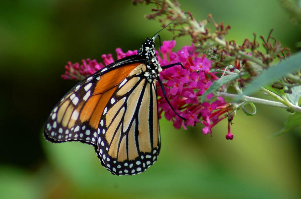 A monarch on a butterfly bush flower.