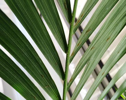 Palor Palm Plant Indoor Care