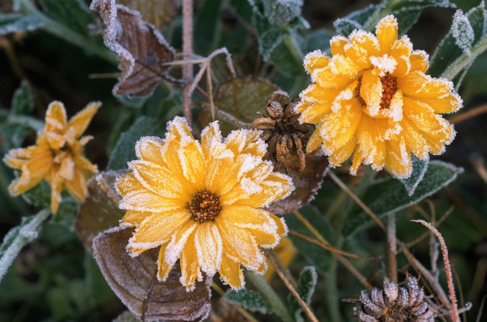 Frost on flowers