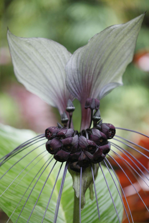 Bat Flower, Tacca integrifolia