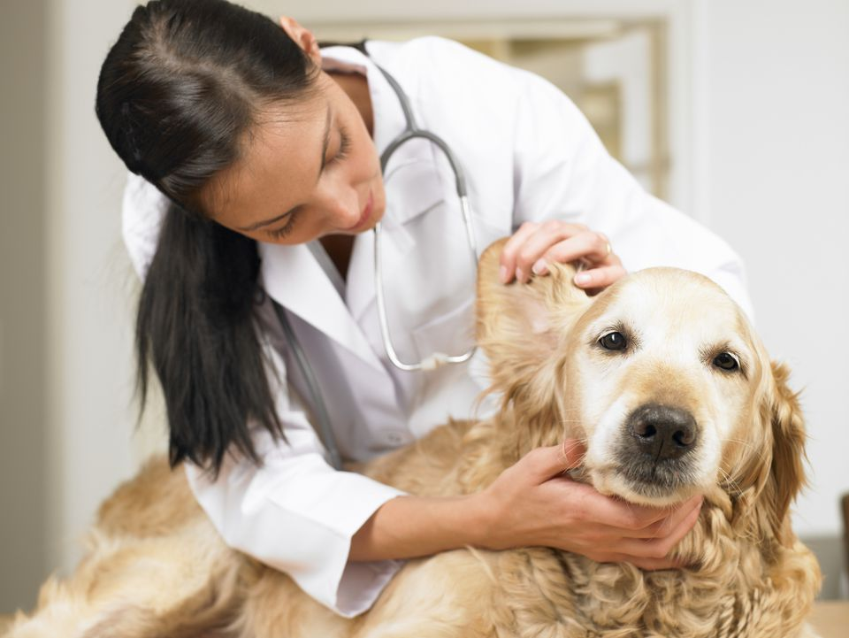Vet Examining a Dogs Ear