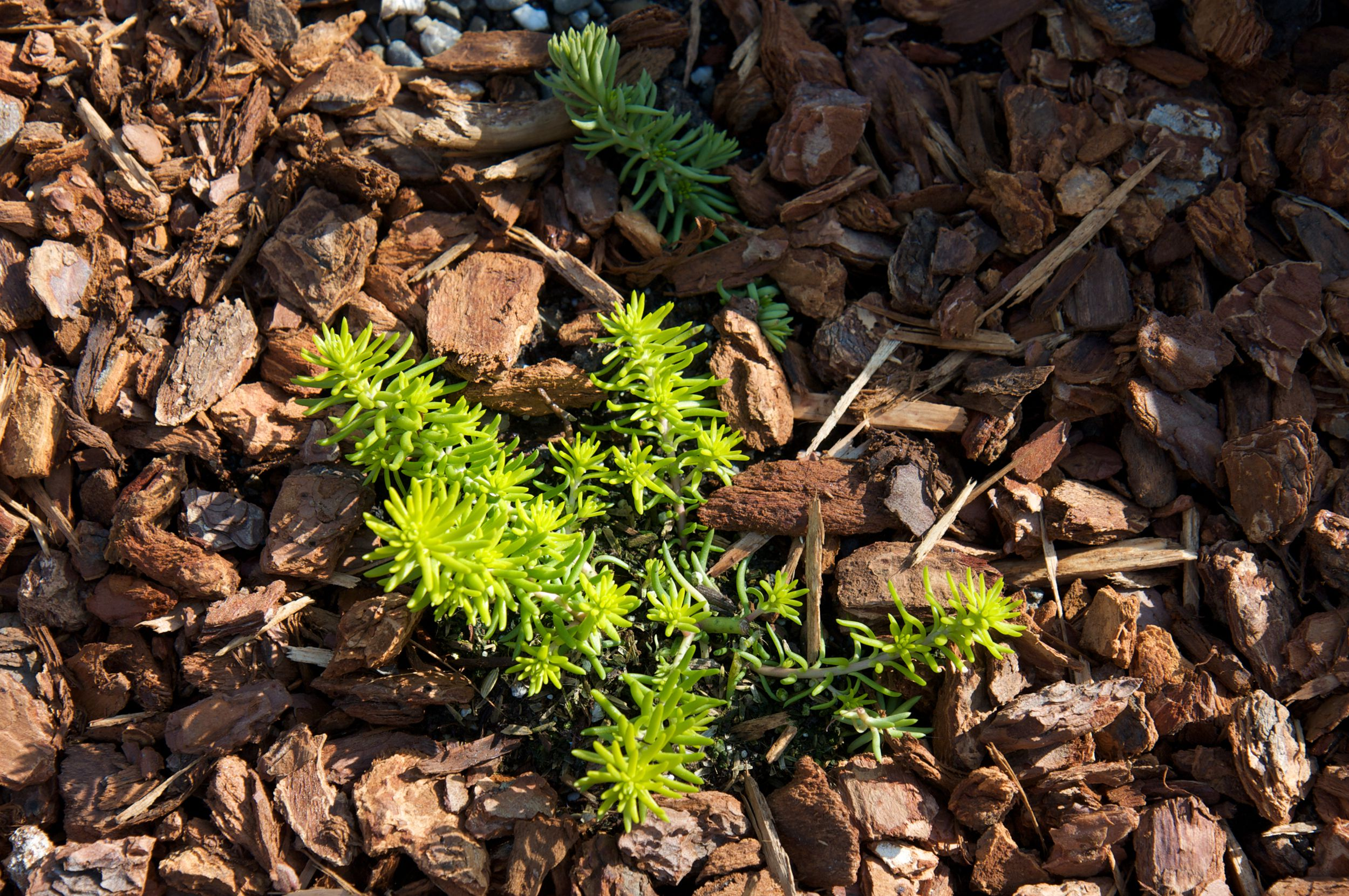 Angelina Stonecrop Plants Ground Cover For Dry Spots