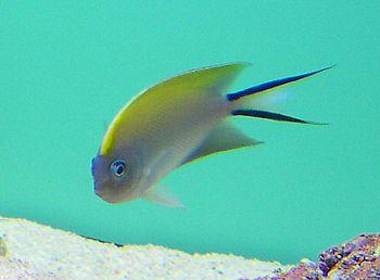 Species: Genicanthus melanospilos