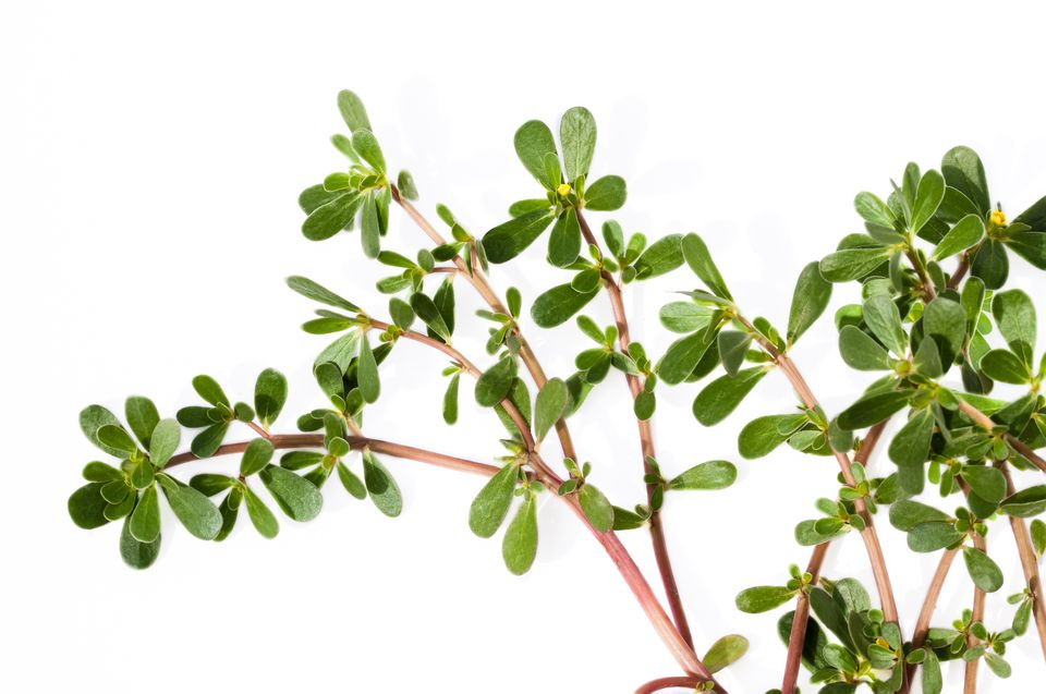 Succulent stems of the weed, purslane.