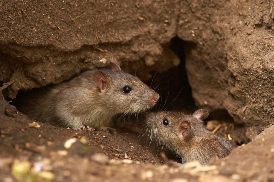 2 Brown Rats (Rattus norvegicus)