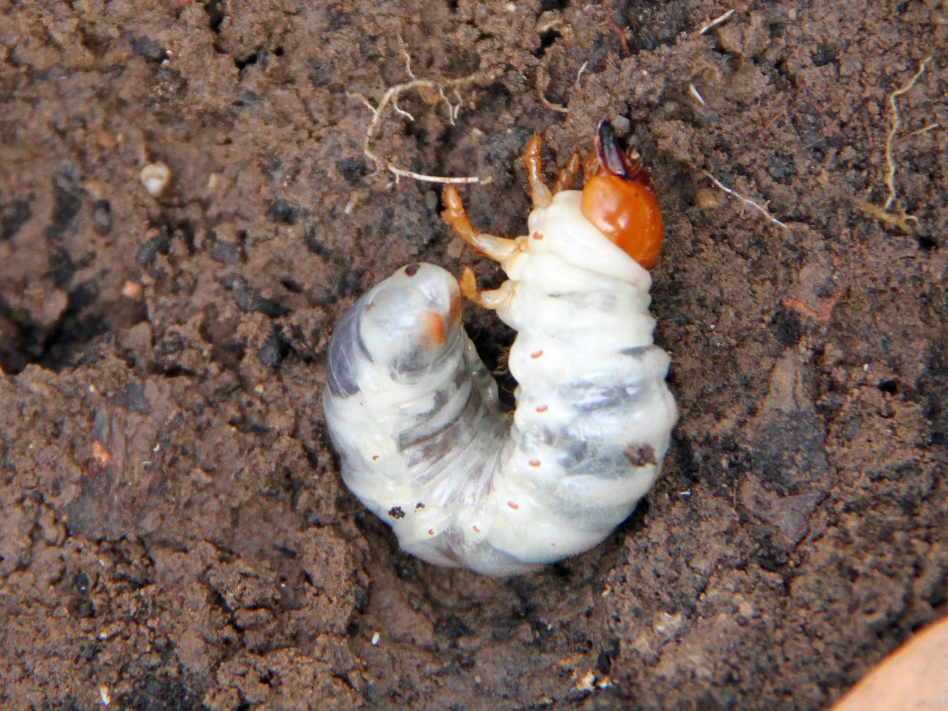 Learn More About Lawn Grubs