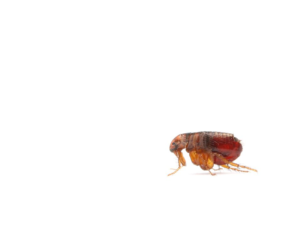 flea on white background
