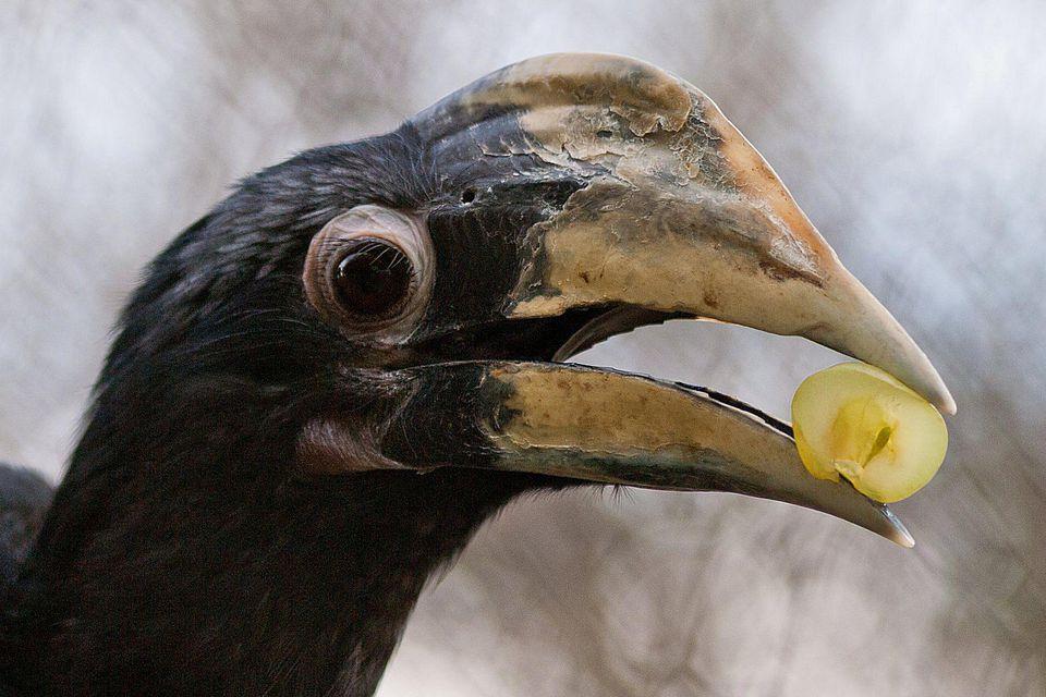 Hornbill Eating Fruit
