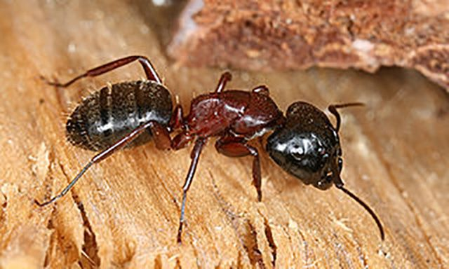 control carpenter ants and winged ants in the home. Black Bedroom Furniture Sets. Home Design Ideas