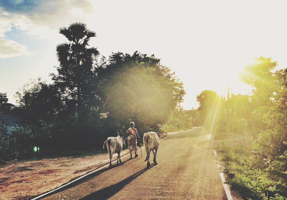 Rear View Of Woman With Cows Walking On Street During Sunset