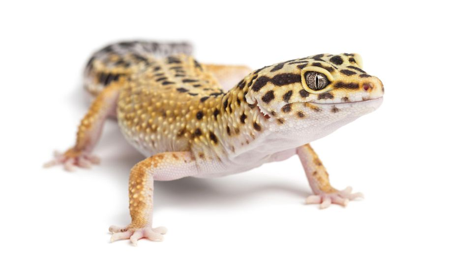 Leopard gecko - eublepharis mascularius