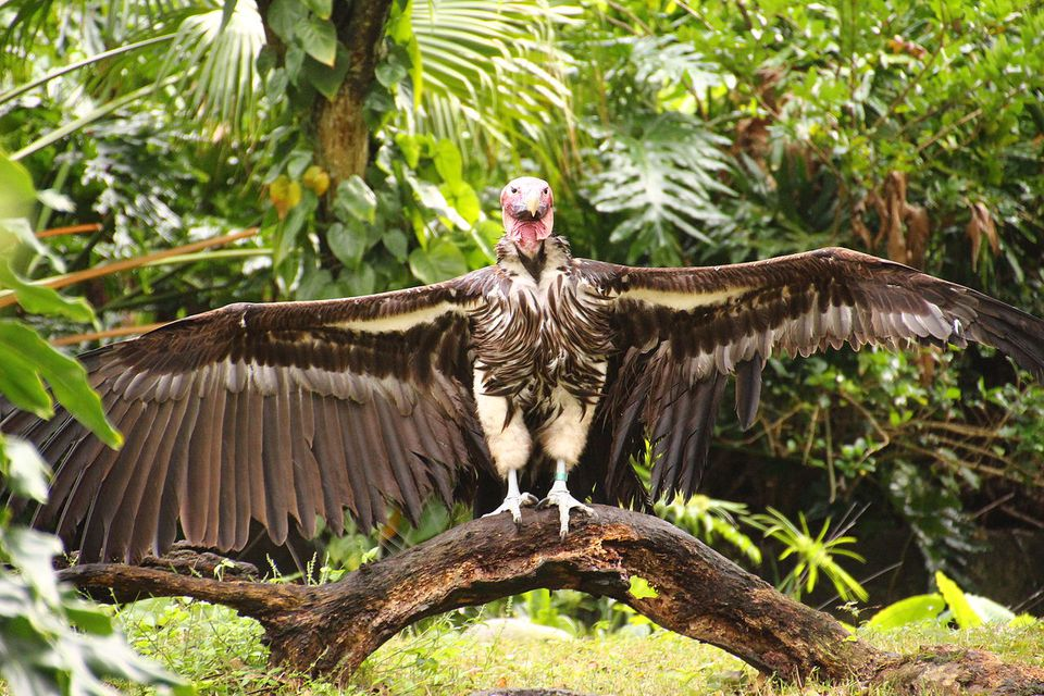 Vulture (Accipitridae Trigonoceps occipitalis?) spreading its wings at Disney's Animal Kingdom in Florida.
