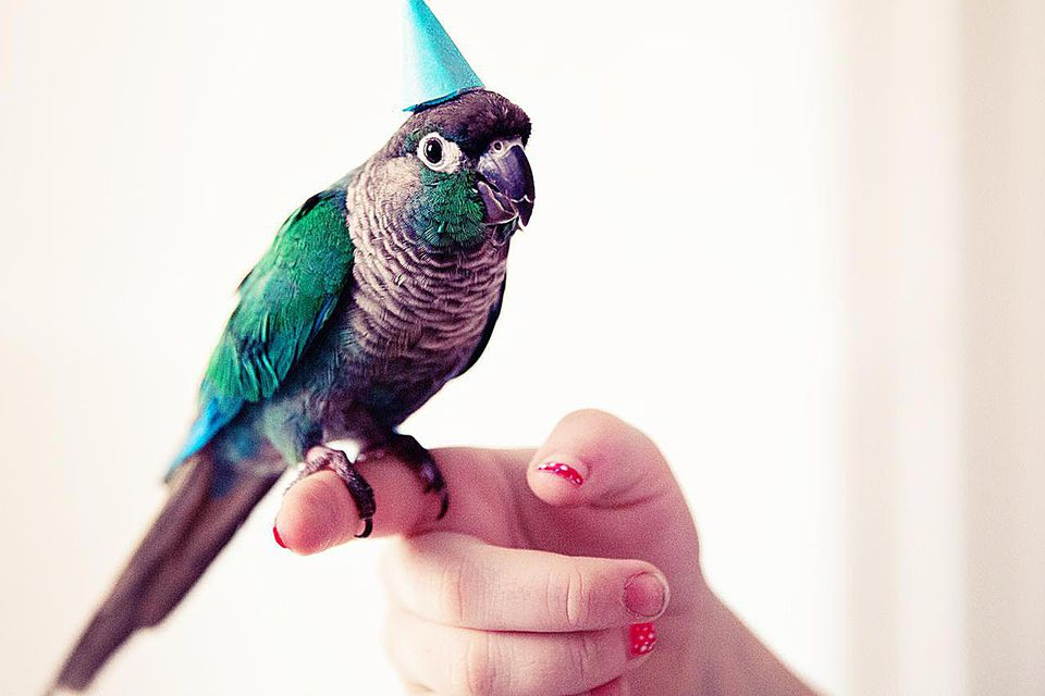 Turquoise Conure parrot standing contentedly on girl's finger (with fingernail polish) wearing blue birthday party hat.