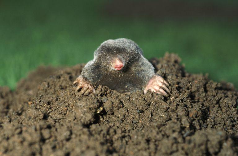 Mole Emerging From a Molehill, United Kingdom