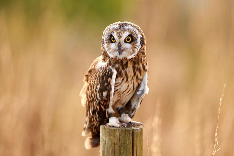 A Short-Eared Owl (Asio flammeus)