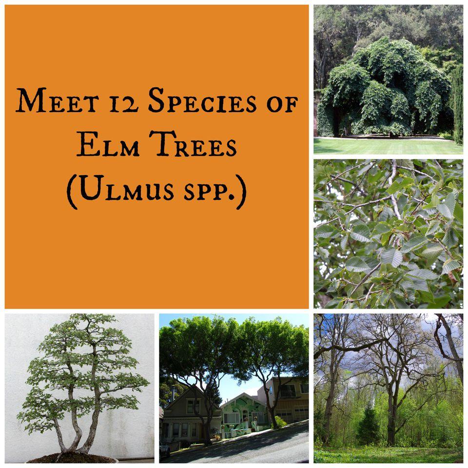 Elm Trees Collage