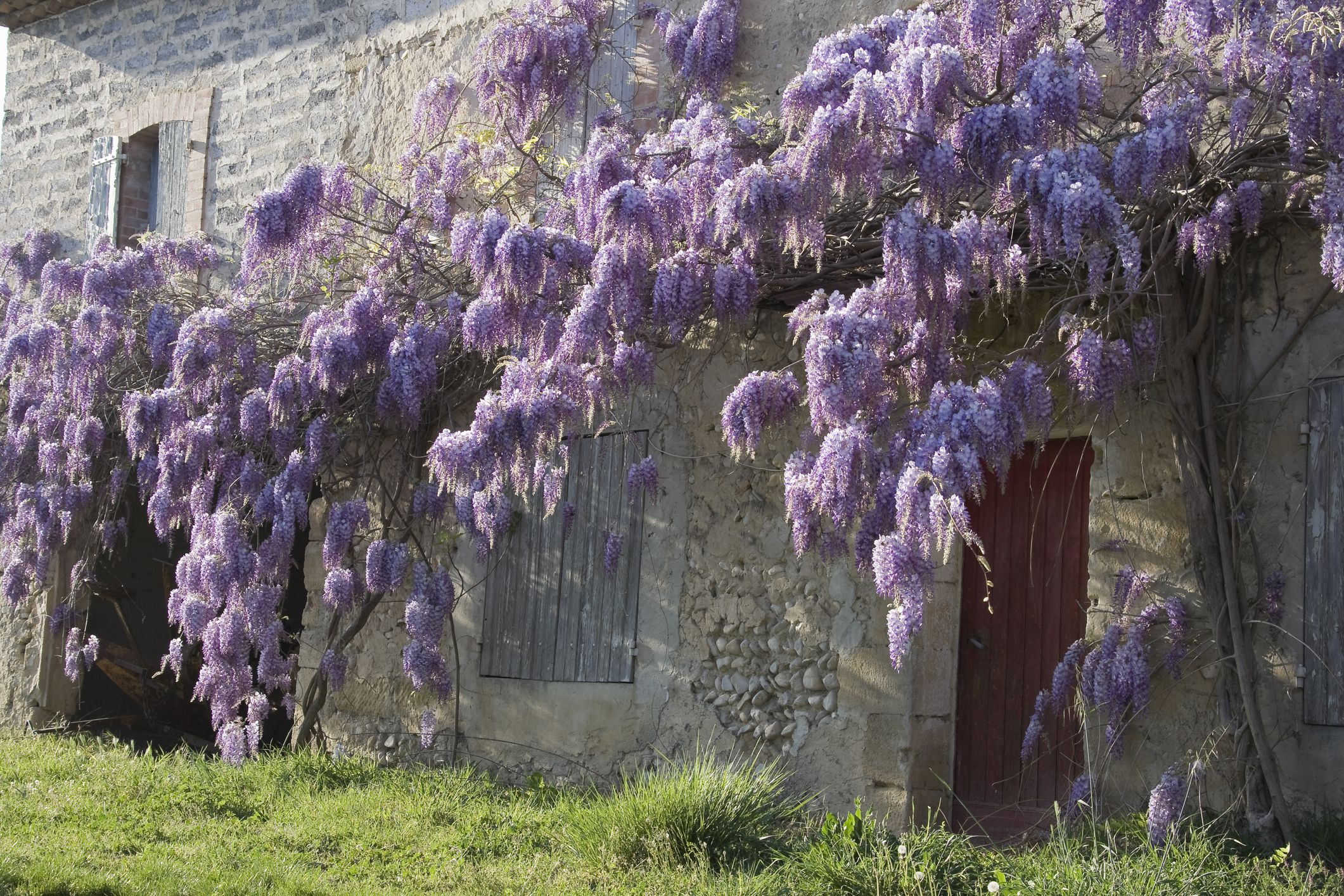 Landscape Uses And Cautions Regarding Chinese Wisteria