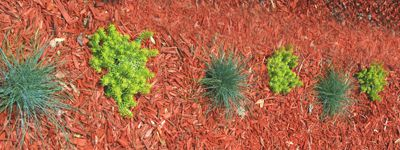 Picture of low plants for a planting bed: blue fescue grass and Angelina stonecrop.